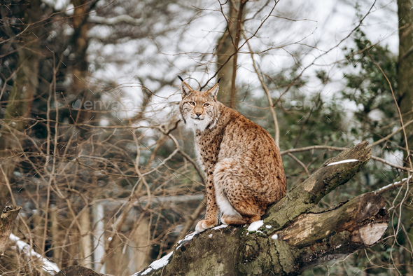 Lynx climbs trees on a Sunny winter day - Stock Photo - Images