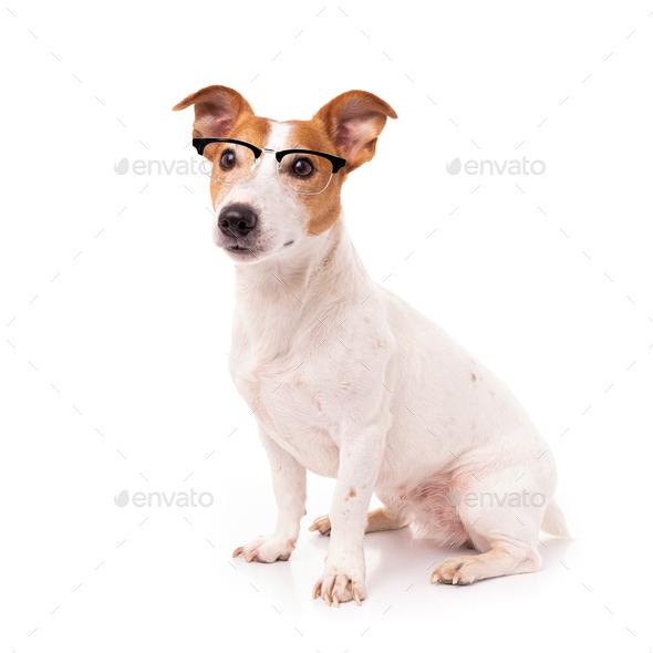 jack russell dog  isolated on white background, wearing reading glasses - Stock Photo - Images