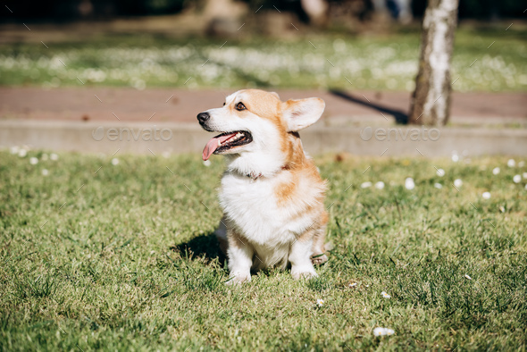 Welsh Corgi Pembroke walks in the Park on a Sunny day - Stock Photo - Images