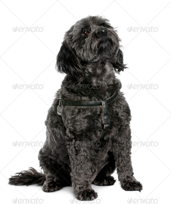 Poodle, 4 years old, sitting in front of white background - Stock Photo - Images