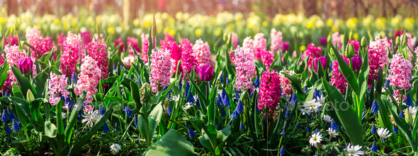 Flower gardens in the Netherlands - Stock Photo - Images