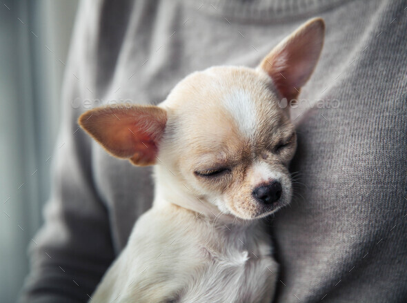 chihuahua puppy in the hands of a girl with a nice manicure - Stock Photo - Images