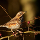 Redwing (Turdus iliacus) - PhotoDune Item for Sale