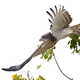 Beaudouins snake eagle (Circaetus beaudouini) - PhotoDune Item for Sale