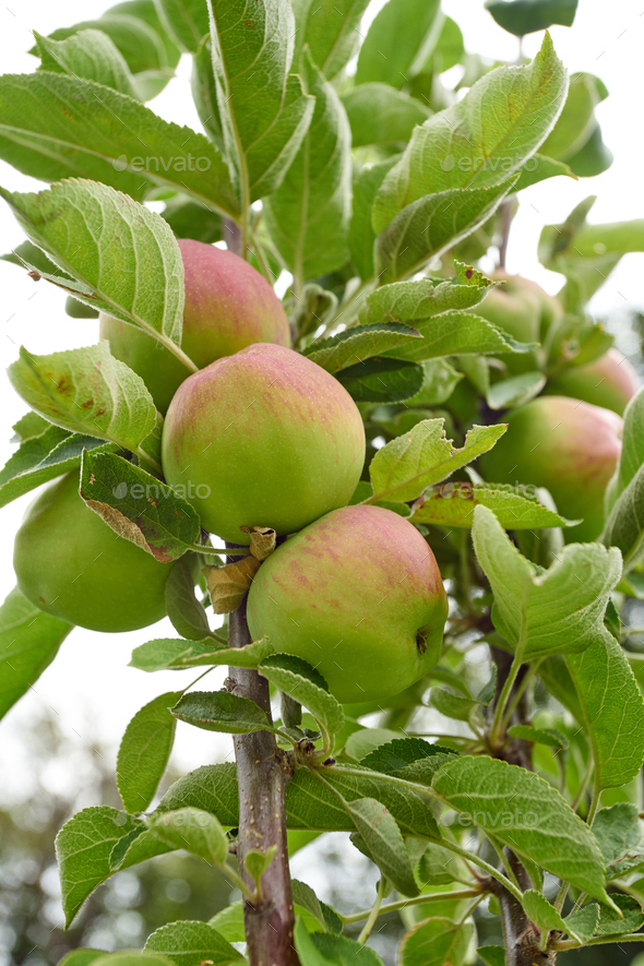 Ripe apples on a branch. Close-up view - Stock Photo - Images