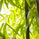 Bamboo shoots - PhotoDune Item for Sale