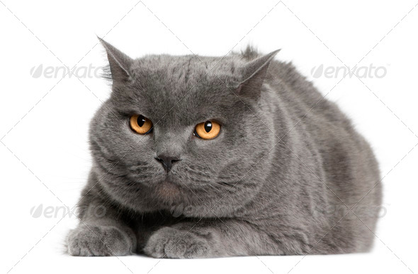 Chartreux cat, 7 years old, sitting in front of white background - Stock Photo - Images