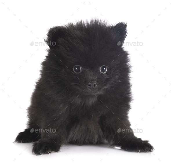 puppy pomeranian in studio - Stock Photo - Images