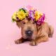 Beautiful Shar pei puppy portrait - PhotoDune Item for Sale