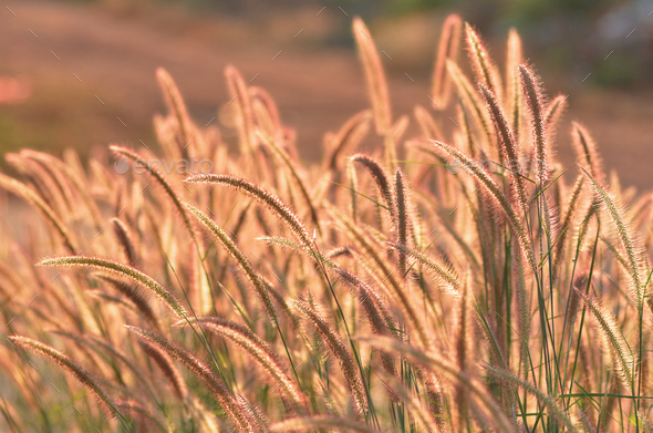 Fountain grass on a sunny day - Stock Photo - Images