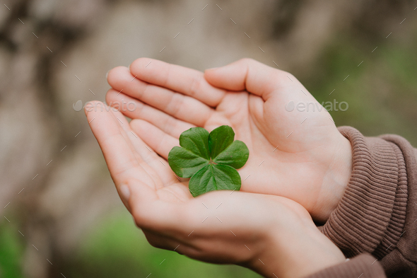 Holding a clover leave on the in female hand palms. Concept of luck - Stock Photo - Images