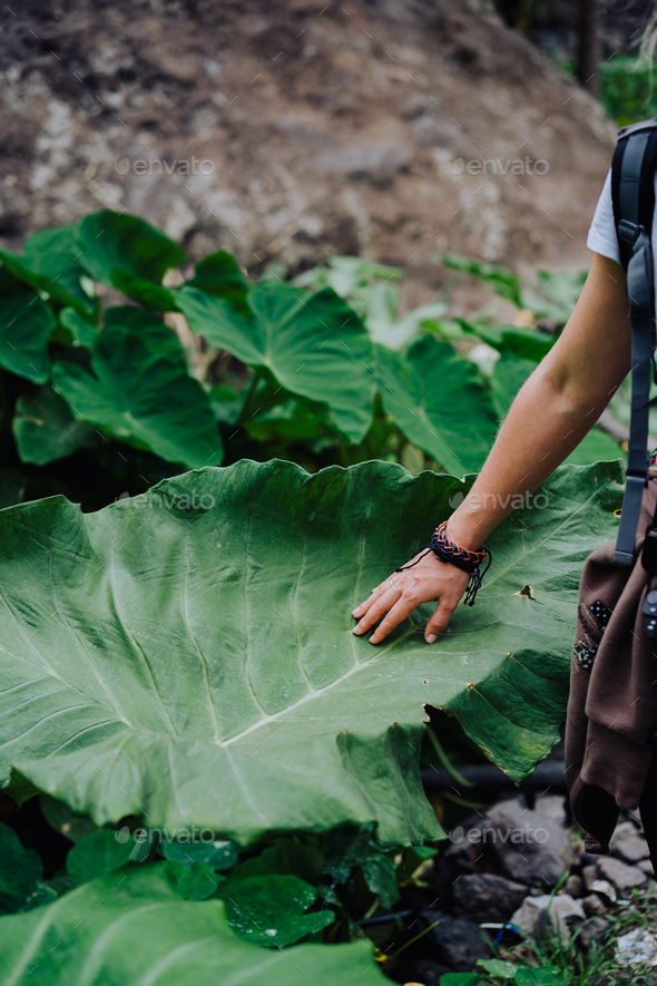 Female hand stroking touching huge lotus leaf - Stock Photo - Images