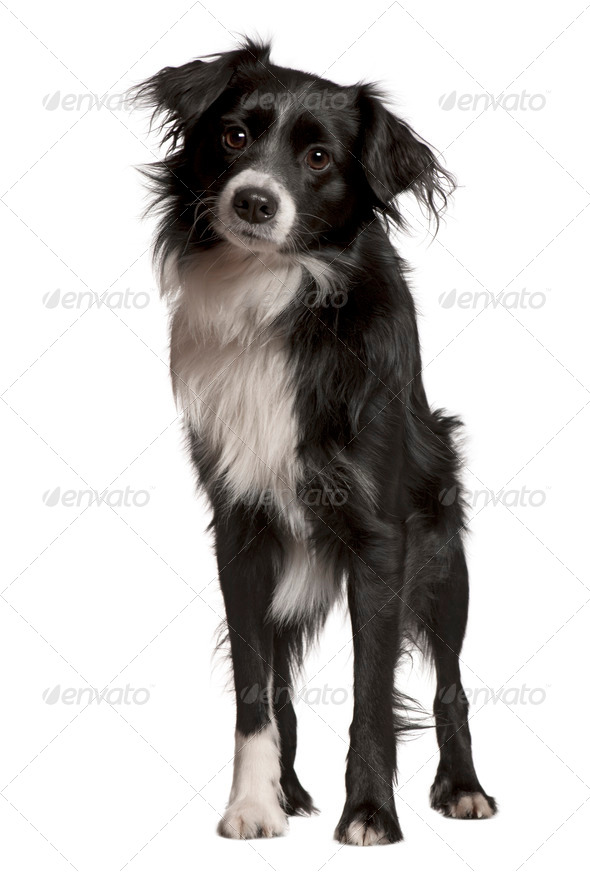 Border collie, 2 years old, standing in front of white background, studio shot - Stock Photo - Images