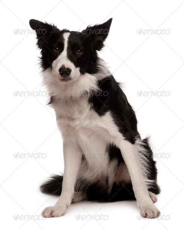 Portrait of Border collie, 3 years old, sitting in front of white background, studio shot - Stock Photo - Images