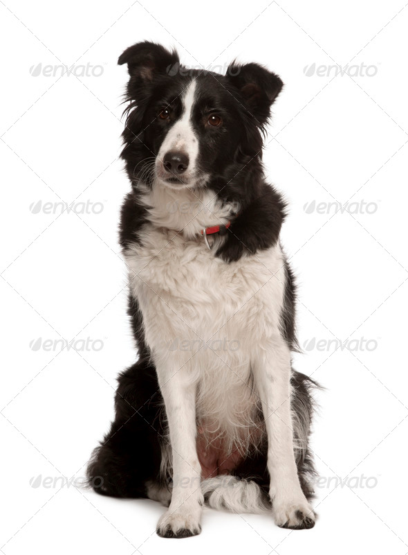 Border collie sitting in front of white background, studio shot - Stock Photo - Images