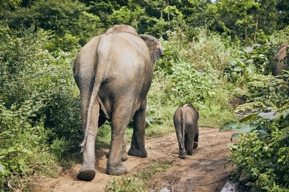 Wildlife elephants in Sri Lanka - Stock Photo - Images