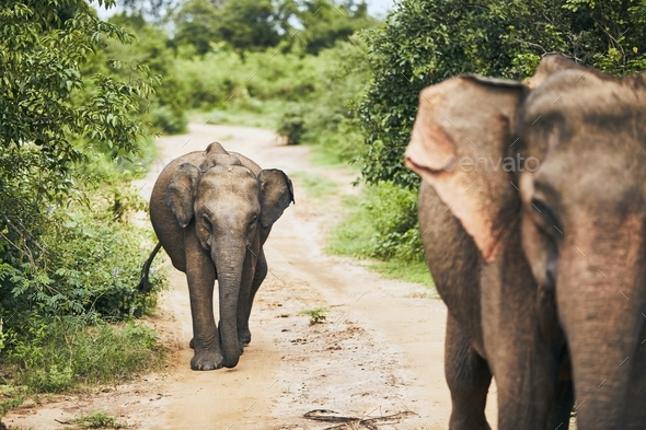 Wildlife elephants in Sri Lanka - Stock Photo - Images