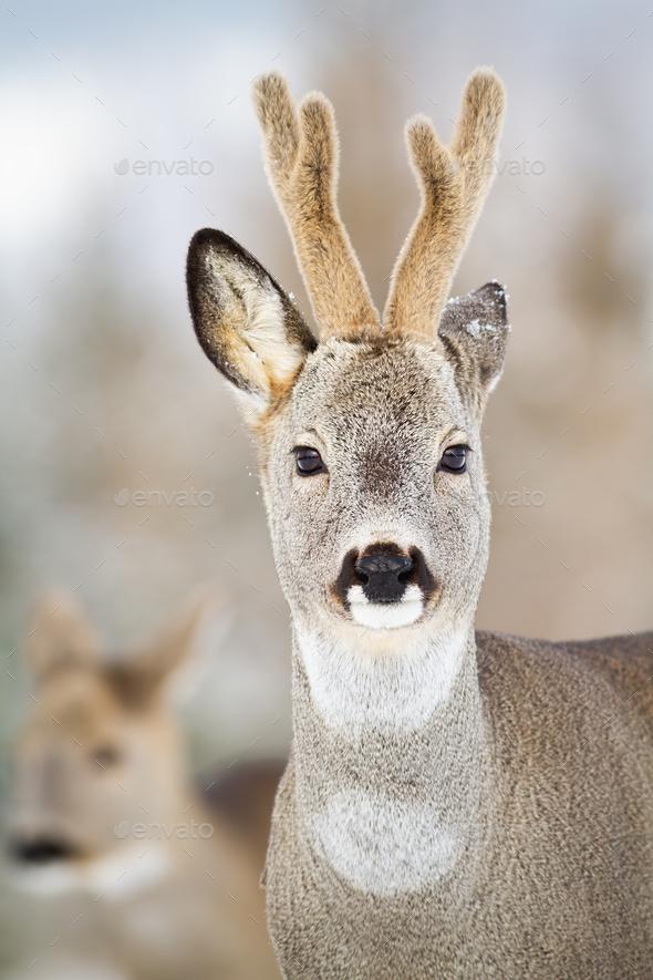 Detail of roe deer, capreolus capreolus, buck in winter - Stock Photo - Images