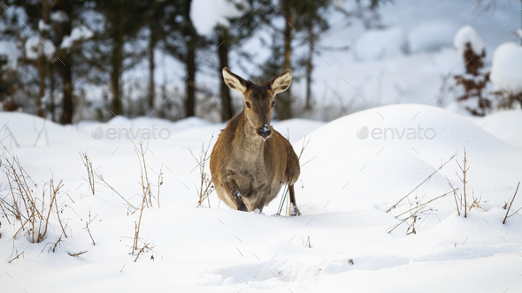 Red deer hind making a step in deep snow in winter - Stock Photo - Images