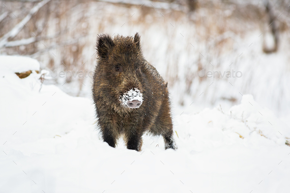 Young wild boar piglet with snow on snout looking curiously in wintertime - Stock Photo - Images
