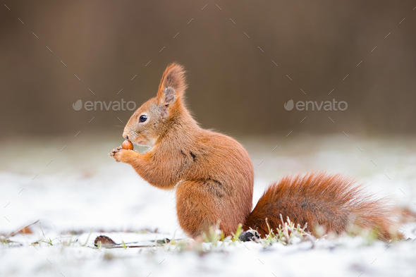 Red squirrel, sciurus vulgaris, on gripping a nut on snow - Stock Photo - Images