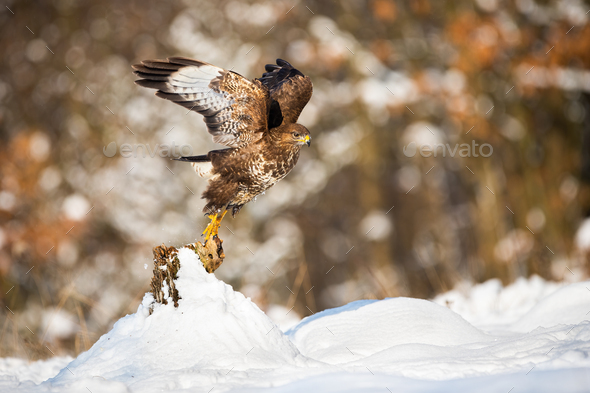 Buzzard taking of from a tree stump covered with snow in winter nature - Stock Photo - Images