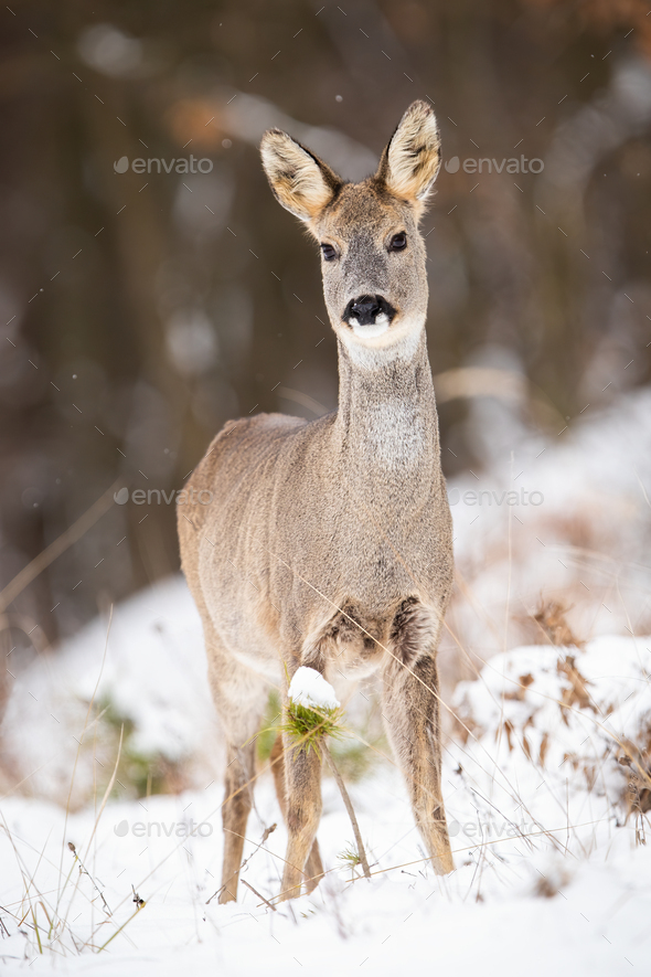 Attentive roe deer doe standing on a clearing in woodland on snow during winter - Stock Photo - Images
