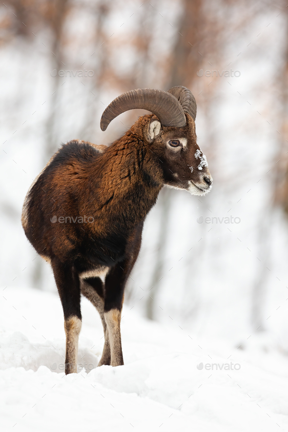 Mouflon ram with horns watching around in snowy forest - Stock Photo - Images