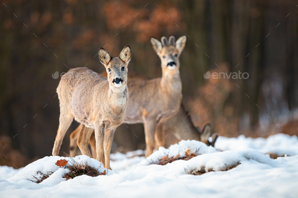 Roe deer doe and buck looking at camera in wintertime - Stock Photo - Images