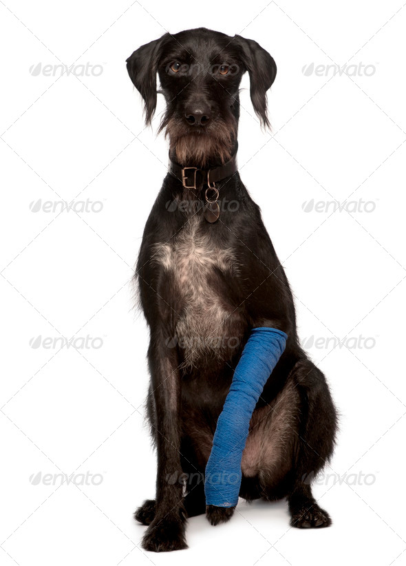 Lurcher, 3 years old, with arm cast sitting in front of white background, studio shot - Stock Photo - Images
