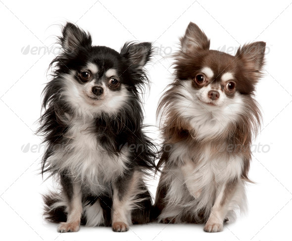 Portrait of two Chihuahuas, 7 years old, sitting in front of white background - Stock Photo - Images
