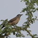 Brown babbler (Turdoides plebejus) - PhotoDune Item for Sale