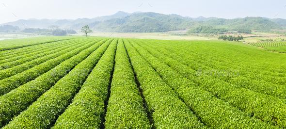 tea plantation panorama - Stock Photo - Images