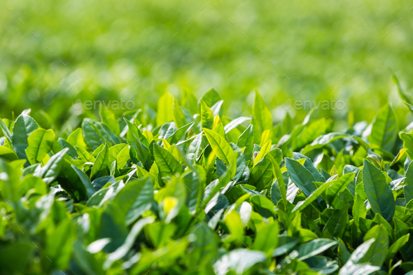 tea tree leaves closeup - Stock Photo - Images