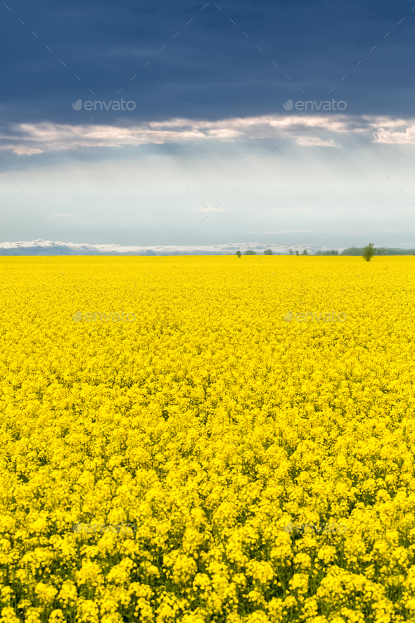 beautiful rapeseed flower field in spring - Stock Photo - Images