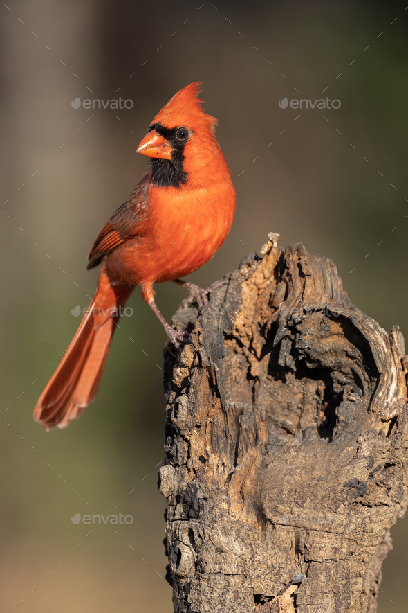 Northern Cardinal Perching on a Stump - Stock Photo - Images