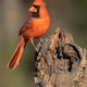 Northern Cardinal Perching on a Stump - PhotoDune Item for Sale