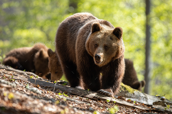 Mother brown bear leading her two cubs on the way through the forest - Stock Photo - Images