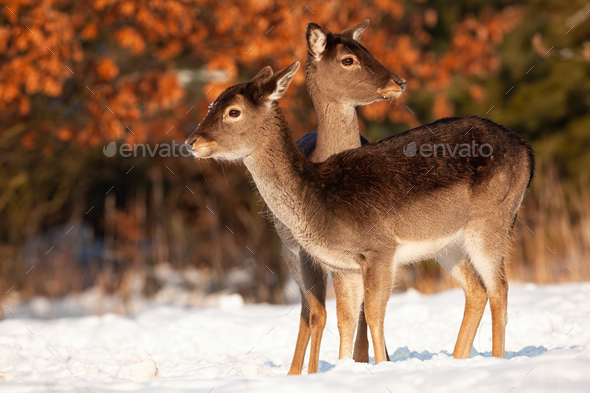 Wholesome fallow deer family standing close together in winter - Stock Photo - Images