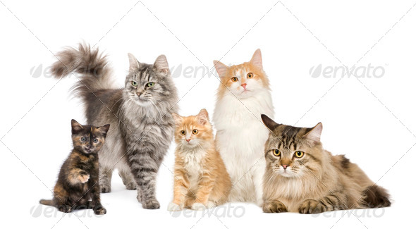 Group of 5 cats in a row : Norwegian, Siberian and persian cat - Stock Photo - Images