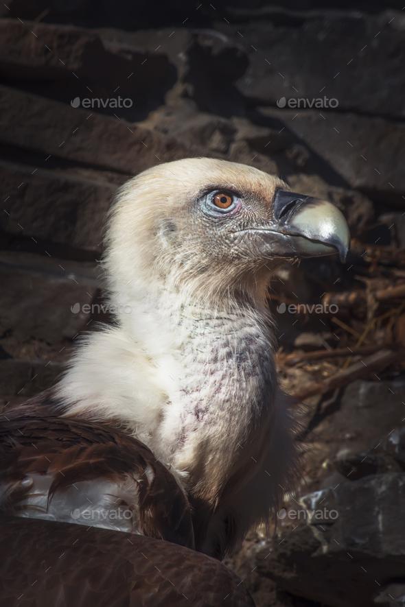 Eagles family vultures portrait - Stock Photo - Images