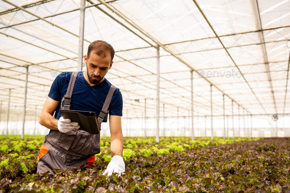 Young farmer who controls the state of salad plants - Stock Photo - Images