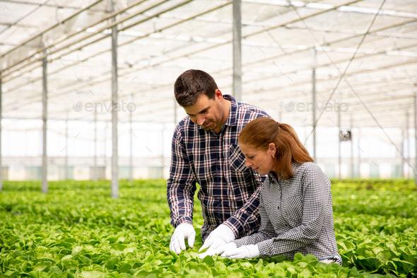 Two agronomist engineers analyze the salad plantation - Stock Photo - Images