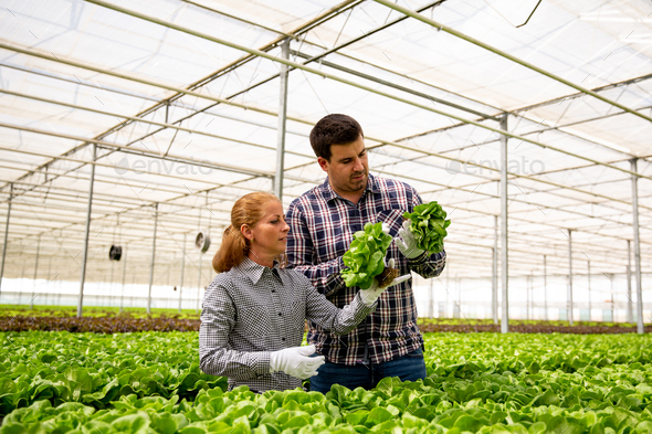 Two researchers are studying the evolution of the growth of salad plants - Stock Photo - Images