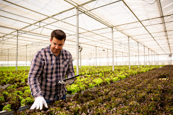 Male agronomist with tablet in hand that follows how salad grows - Stock Photo - Images