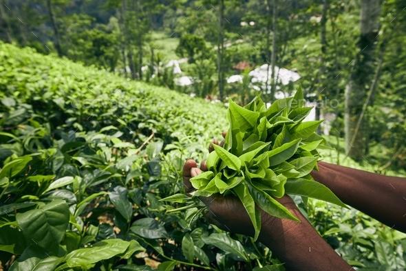 Harvest on tea plantation - Stock Photo - Images