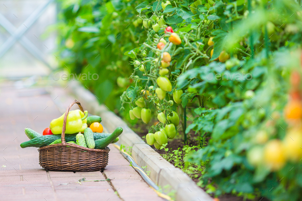 Closeup basket of greenery and vagetables in the greenhouse. Harvesting time - Stock Photo - Images