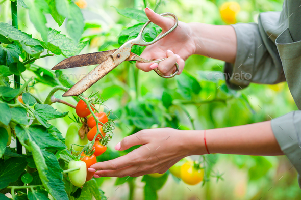 Red tomatoes in greenhouse, Woman cutting off her harvest - Stock Photo - Images