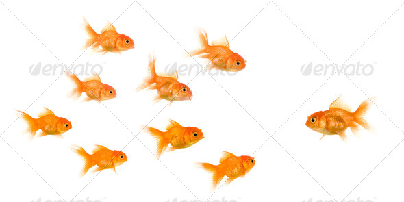 School of Goldfish - Stock Photo - Images