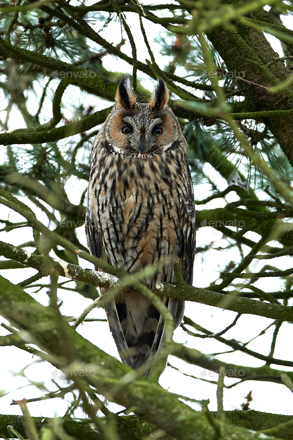 Northern long-eared owl (Asio otus) - Stock Photo - Images